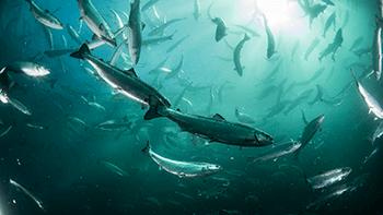 Ivareta fiskehelse, velferd og miljøet under håndtering og transport